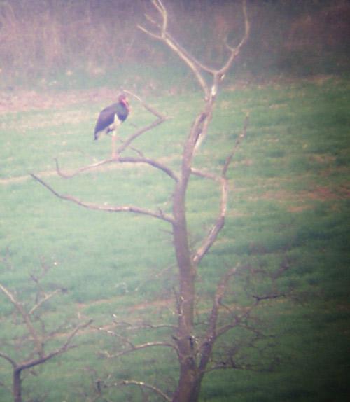 fekete gólya Biatorbágyon