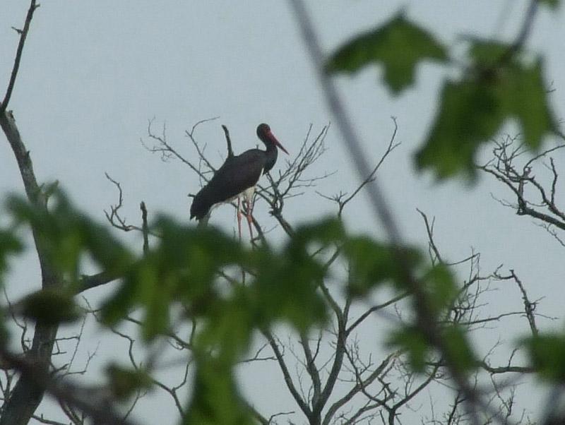 fekete gólya